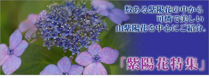 数ある紫陽花の中から可憐で美しい山紫陽花を中心にご紹介。