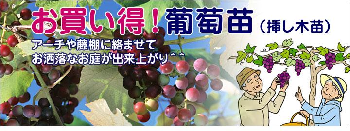 挿し木葡萄苗