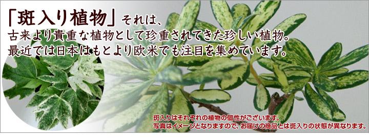「斑入り植物」それは、古来より貴重な植物として珍重されてきた珍しい植物。最近では日本はもとより欧米でも注目を集めています。