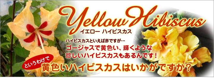 黄色いハイビスカスはいかがですか?