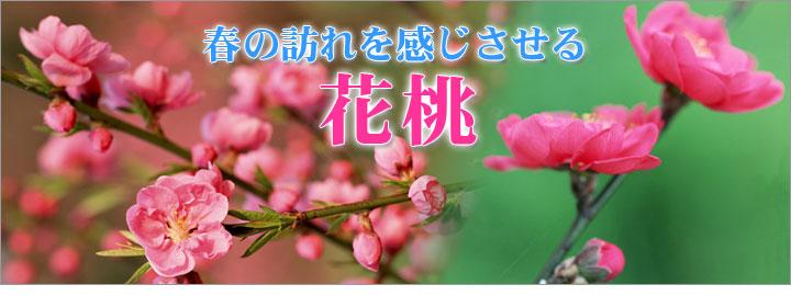 春の訪れを感じさせる花桃