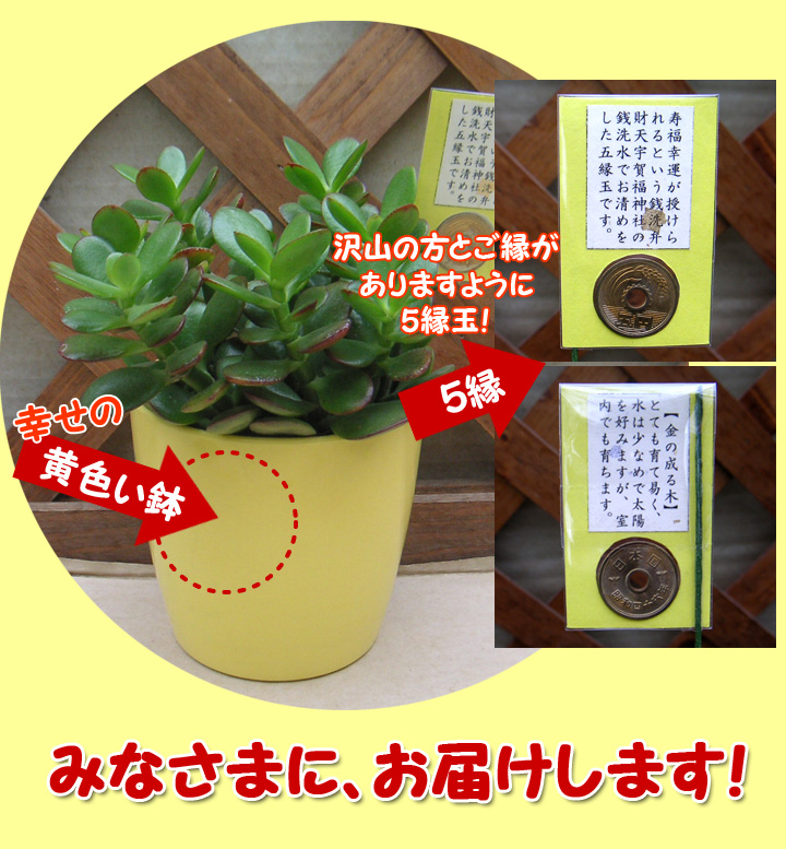 金のなる木、幸せの黄色い鉢と銭洗弁財天のお清めの5円付き!