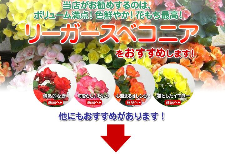 当店がお勧めするのは、ボリューム満点!色鮮やか!花もち最高!リーガースベコニアをお勧めします!