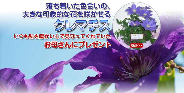 落ち着いた色合いの、大きな印象的な花を咲かせるクレマチス。いつも私を暖かい心で見守ってくれていたお母さんにプレゼント。