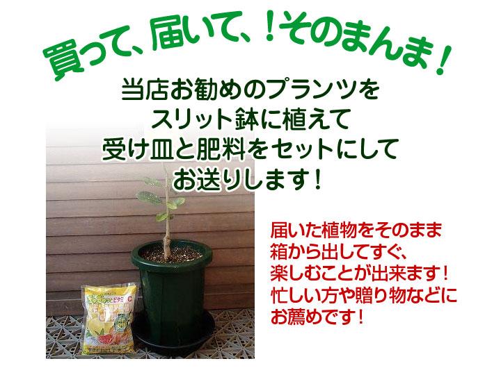 当店お勧めのプランツを、スリット鉢に植えて受け皿と肥料をセットにしてお送りします!