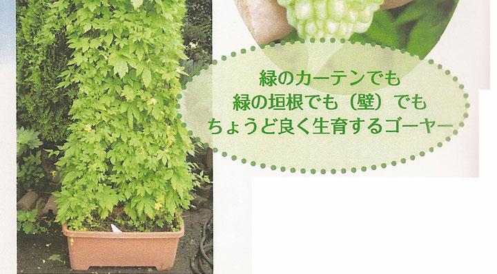 ソムリエ野菜:手のりゴーヤーミニ。